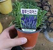 블루스피어스 허브과 (공기정화인기식물)|