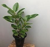 [희희낙락플라워]뱅갈고무나무/실내인테리어/공기정화식물/인테리어식물/플랜테리어|