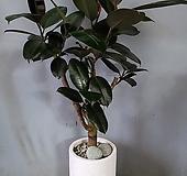 흑고무나무+테라조시멘트화분(부경농원)|