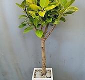 뱅갈고무나무+시멘트사각(부경농원)|