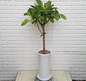 뱅갈고무나무 개업,이전, 집들이선물 - 공기정화식물|