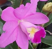 핑크 카틀레아 