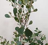 웹스테리아나 유칼립투스(잎이 우정모양인 아이에요)  