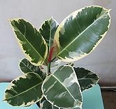 수채화고무나무,중대품C1900-외목대,동일품배송|