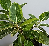 미니 뱅갈고무나무|