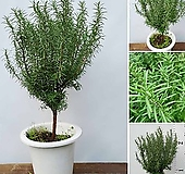 꽃과나무 ] 목대로즈마리 / 허브향 / 공기정화 / 반양지식물 / 허브식물 / 적정온도 15-25도 / 남유럽|
