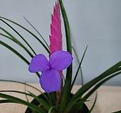 틸란드시아 꽃59|
