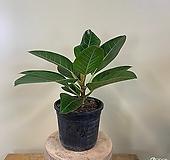 (싹쓰리식물원) 뱅갈고무나무-묘목|