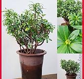 꽃과나무 ] 천리향 / 대품 / 꽃 / 향기 / 반양지식물 / 관리 쉬움 / 최저5도 / 중국산|