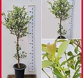 꽃과나무 ] 구아바나무 / 생명살리는나무 / 유실수 / 양지식물 / 최저온도 5도 / 남미산|