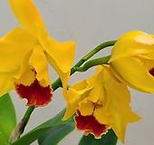 카틀레야.노랑색에 빨강색립프.꽃중형종.고급종.잘않나오는 품종.인기상품.신상품입고.아주예쁜색.꽃대. 