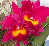 카틀레야.산양루비.빨강색에노랑색립프.아주예쁜색.꽃대형종.향기좋은향.고급종.잘않나오는 품종.인기상품.꽃피었던상품. 