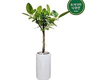 뱅갈고무나무 개업축하화분 인테리어화분 거실식물 DLP-412|