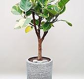 뱅갈고무나무 홈카페 인테리어관엽식물 농장직영 개업축하화분|