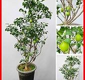 꽃과나무 ] 왕레몬나무 / 유실수 / 봄꽃 / 향기 / 양지 / 최저5도 / 히말라야산|