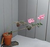 (한몸)빌드베른로즈,유럽제라늄..토분|pelargonium inquinans