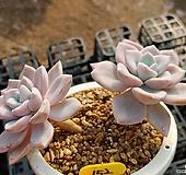 핑크파이 Graptopetalum Mirinae