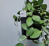 호야 티상기 수입식물160|