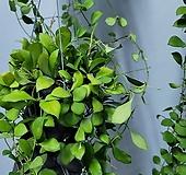 호야헤쉬겔리아 수입식물360|