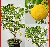 꽃과나무 ] 유자나무 / 유실수 / 봄꽃 / 양지식물 / 최저-9도 / 아시아산 |