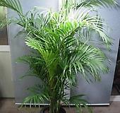 아레카야자 특특특대품132번-높이190센치-한뿌리한몸-굵은묵은주-동일품배송|