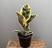 [희희낙락플라워]수채화 고무나무/칼라고무나무/고무나무/공기정화식물/인테리어식물/플랜테리어|