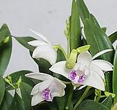 향기나는꽃 깅기아난 긴기아남 긴기아난 실내식물 공기정화식물 엑스플랜트  엑플|