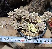 베라하긴스금 자연군생 Graptopetalum Mirinae