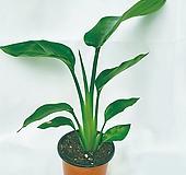 플랜테리어 인기 식물 극락조 - 김규리플라워 |