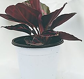 아름다운 반려식물 칼라데아도티 - 김규리플라워 