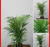 꽃과나무 ] 야레카야자 / 열대식물 / 공기정화 / 반양지 / 최저3도 / 마다가스카르산|