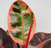 루비고무나무2/동일품배송 |
