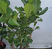 떡갈 고무나무|