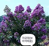 백일홍나무(보라색꽃),수고1.2전후,같이가치농원|