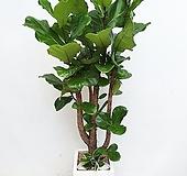 특대형 떡갈고무나무 사각시멘트화분|