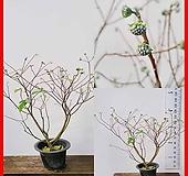 꽃과나무 ] 삼지닥나무 / 유실수 / 봄꽃 / 양지 / 반양지 / 최저-20도 / 동아시아|