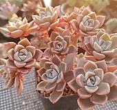 핑크프리티.자연 Echeveria Pretty in Pink