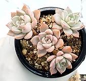 핑크프리티 9-402 Echeveria Pretty in Pink