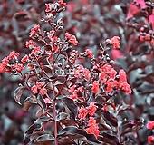 자엽배롱나무(블랙다이아몬드)적색꽃 목백일홍나무 [모든원예조경]|