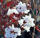 자엽배롱나무(블랙다이아몬드)백색꽃 목백일홍나무 [모든원예조경]|