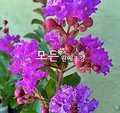 배롱나무 (보라색) 삽목2년생 목백일홍나무 [모든원예조경]|