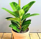 귀여운 반려식물 뱅갈고무나무, 전체높이 45cm전후|