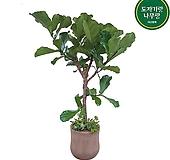 떡갈고무나무 관엽 인테리어식물 사무실 개업축하화분 입주화분 DLP-338|