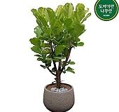 떡갈고무나무 대형 한목대 개업축하화분 인테리어식물 DLP-354|