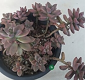 묵은프리티_6|Graptoveria Gilva