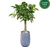 뱅갈고무나무 거실인테리어식물 개업축하화분 DLP-423|