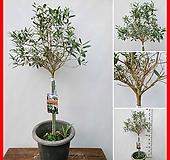 꽃과나무 ] 올리브나무 / 감람나무 / 관엽 / 목본류 / 야생화 / 외목대 / 관상용 / 열매 / 꽃|