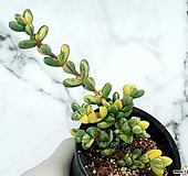 벽어연금 10-380|Corpuscularia lehmanni