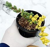 벽어연금 11-171|Corpuscularia lehmanni