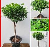 꽃과나무 ] 가지마루 / 대만고무나무 / 공기정화 / 상록수 / 반양지 / 최저10도 / 대만산|